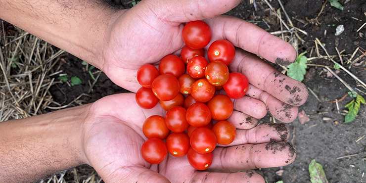 Tomatoes from the Mansion's garden